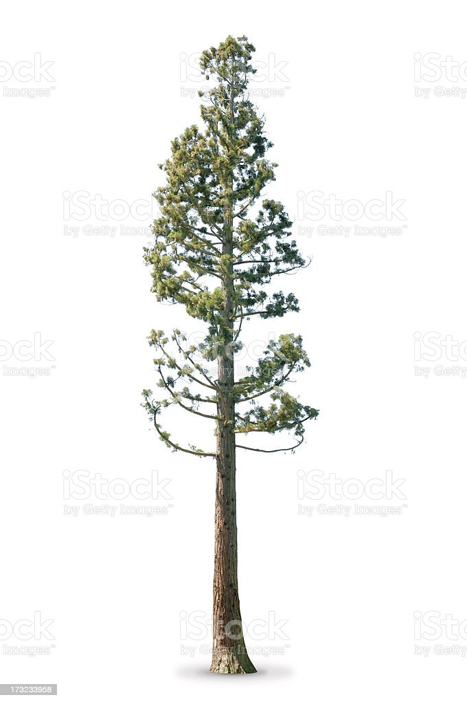 Tree in spring - isolated on white Sequoia royalty-free stock photo