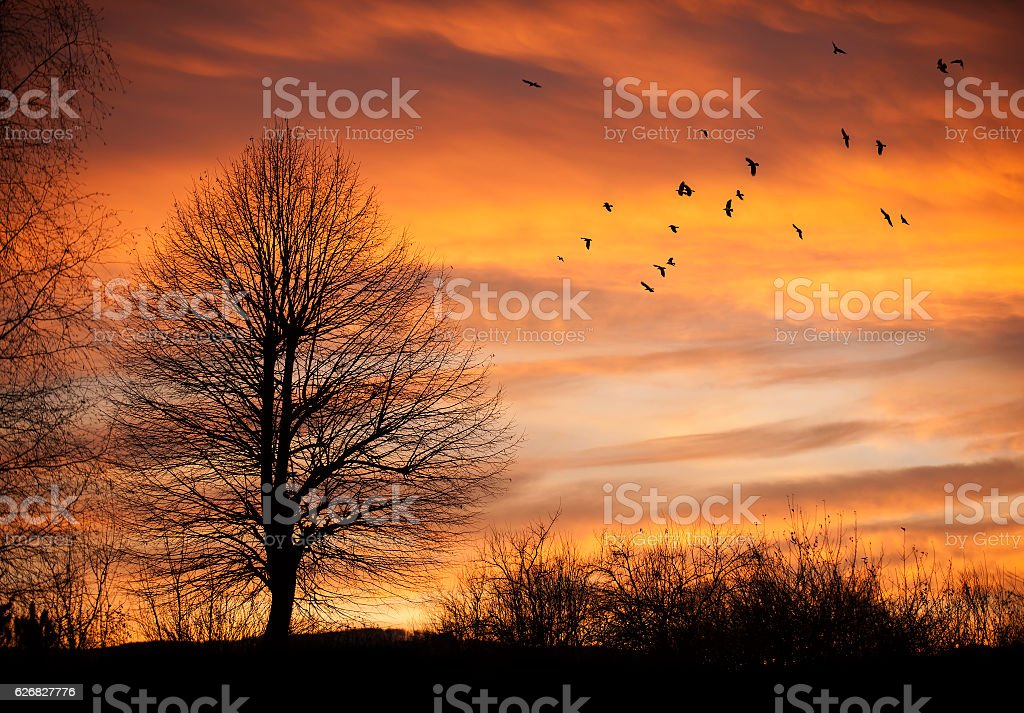 Tree in sunset time with birds stock photo