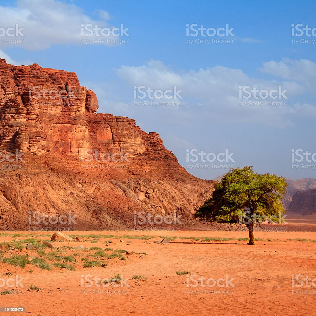 Tree in the desert - square royalty-free stock photo
