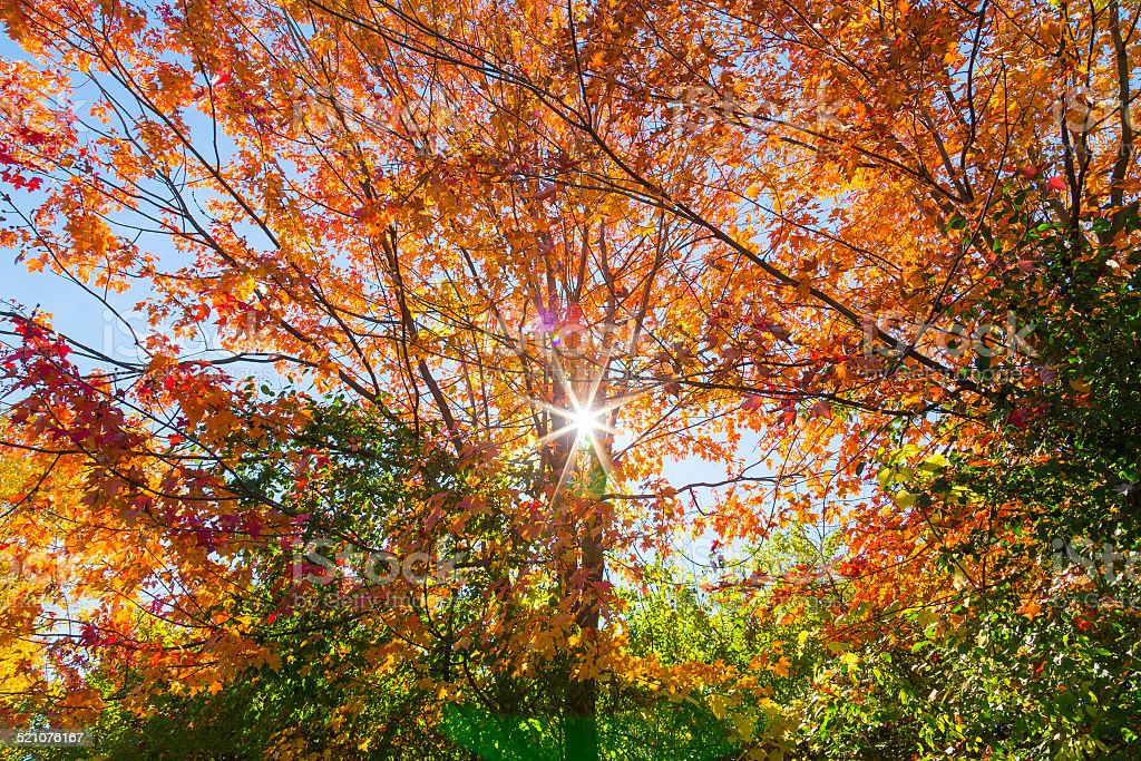 Tree in the Fall with Sunburst stock photo