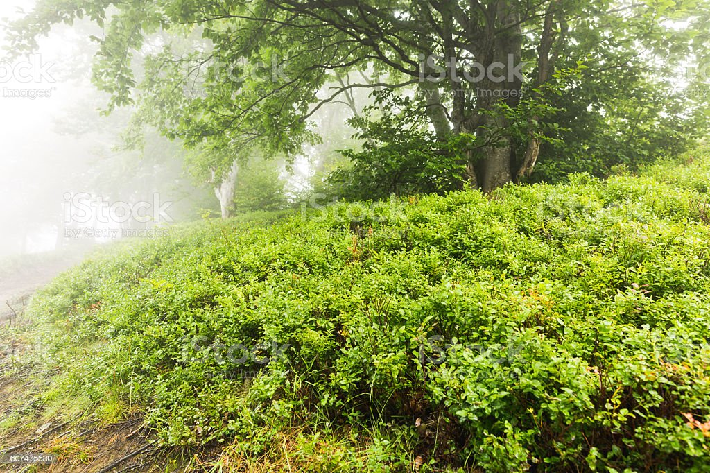 Tree in the fog surrounded by blueberry bushes stock photo