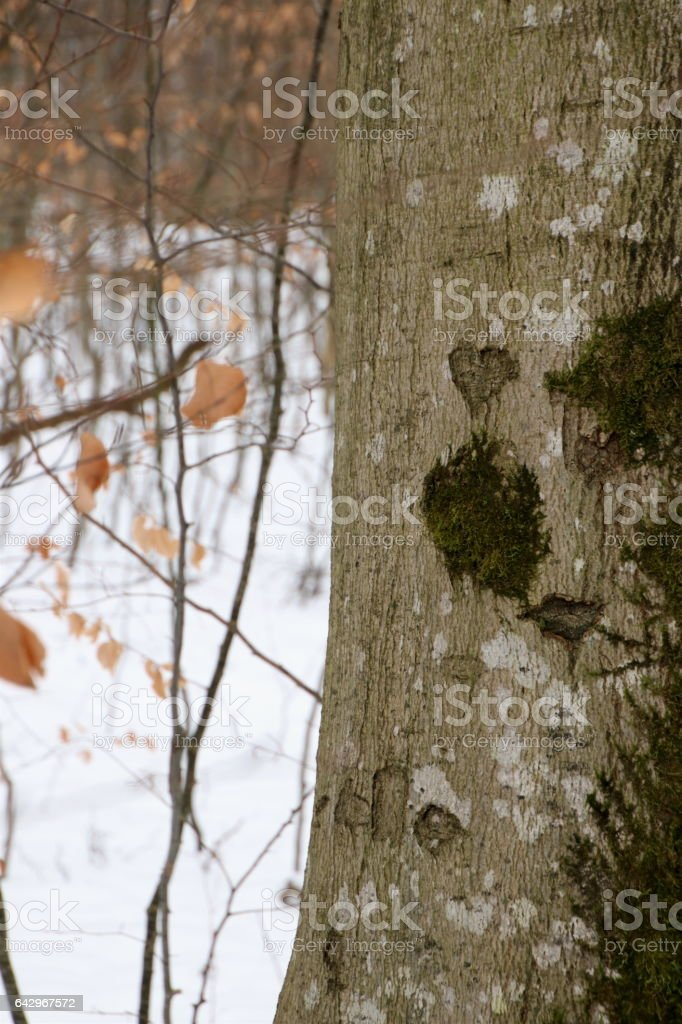 Tree in the forest with heart carved in the bark stock photo