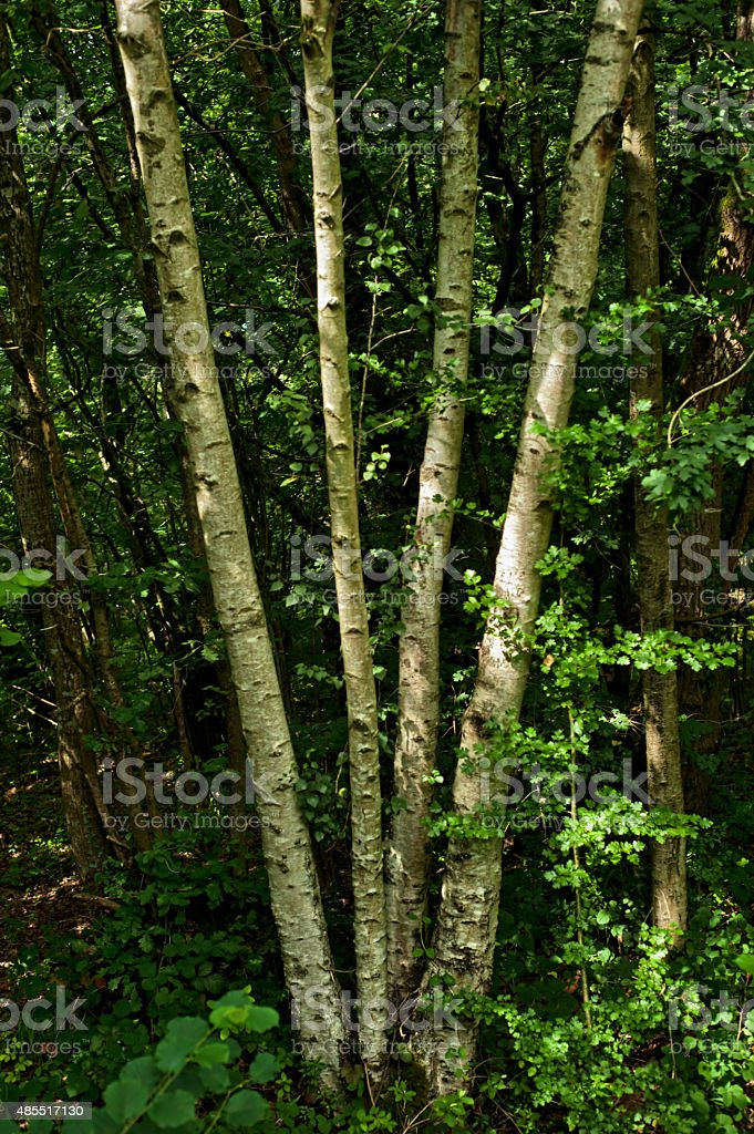 Tree in the forest-birch stock photo