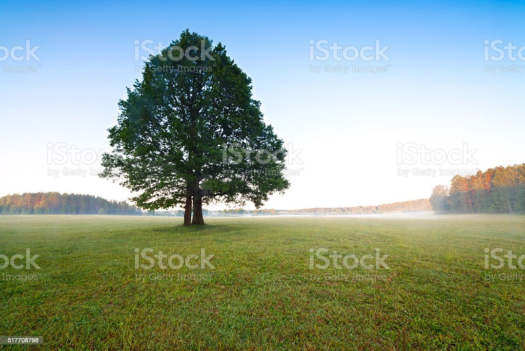 Tree in the meadow in the mist with sunlight stock photo