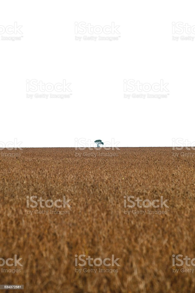tree in the middle of soybean planting after deforestation. stock photo