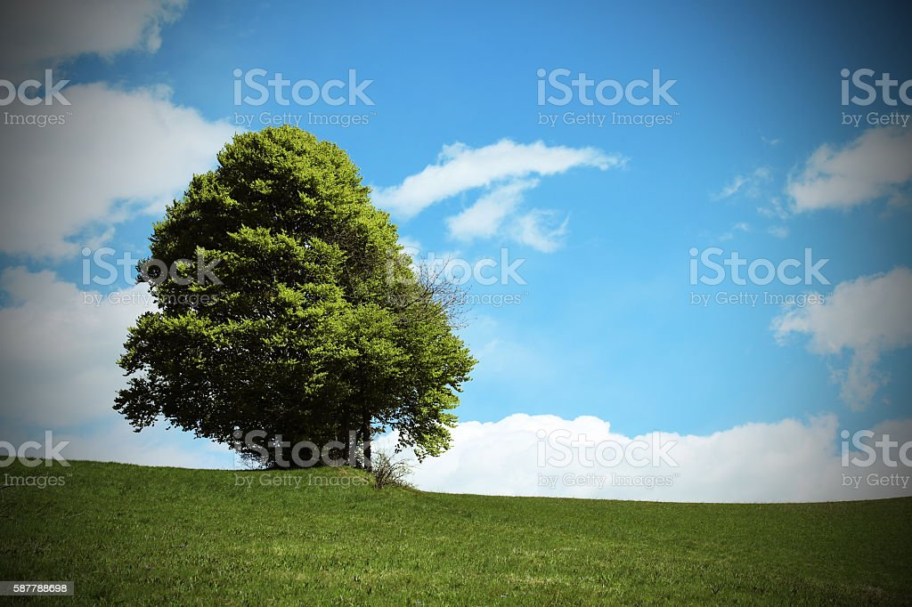 tree in the middle of the green meadow in summer stock photo