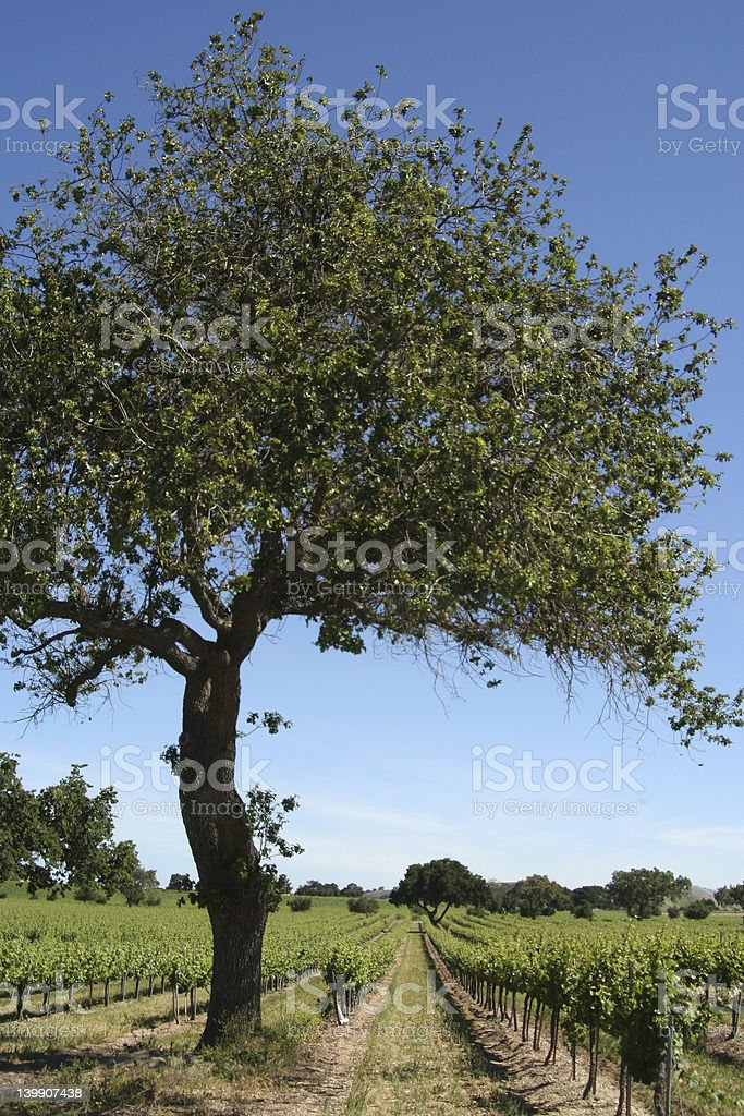 tree in vineyard stock photo