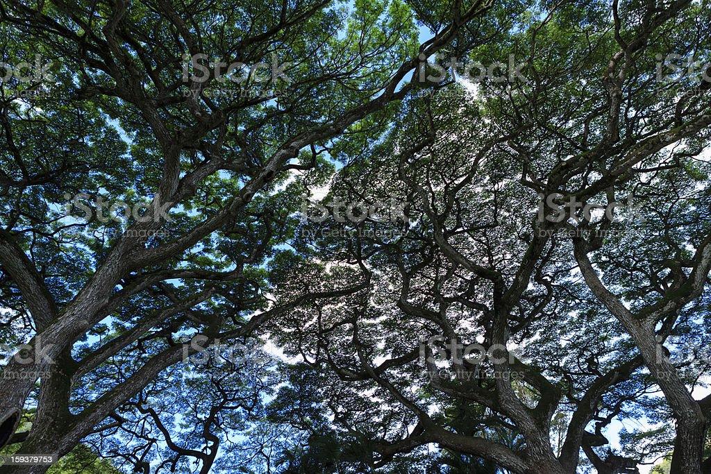 Tree in  Waimea Park, Oahu royalty-free stock photo
