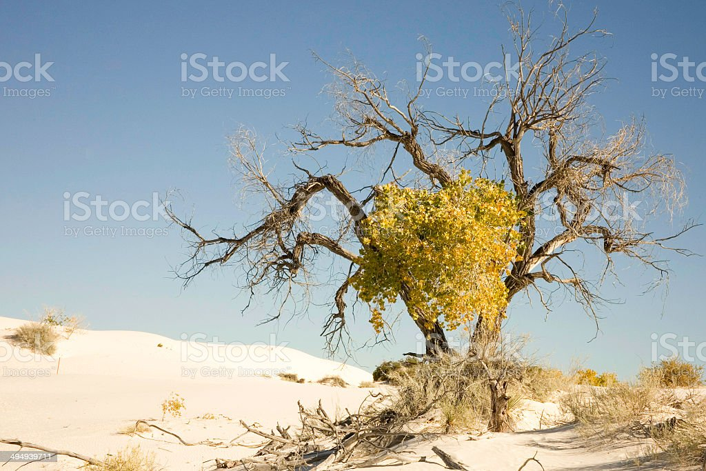 Tree in White Sands National Monument royalty-free stock photo