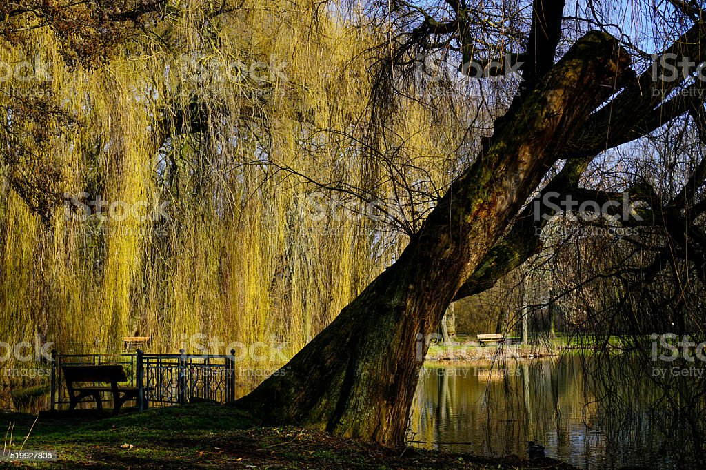 Tree is bending over a lake stock photo