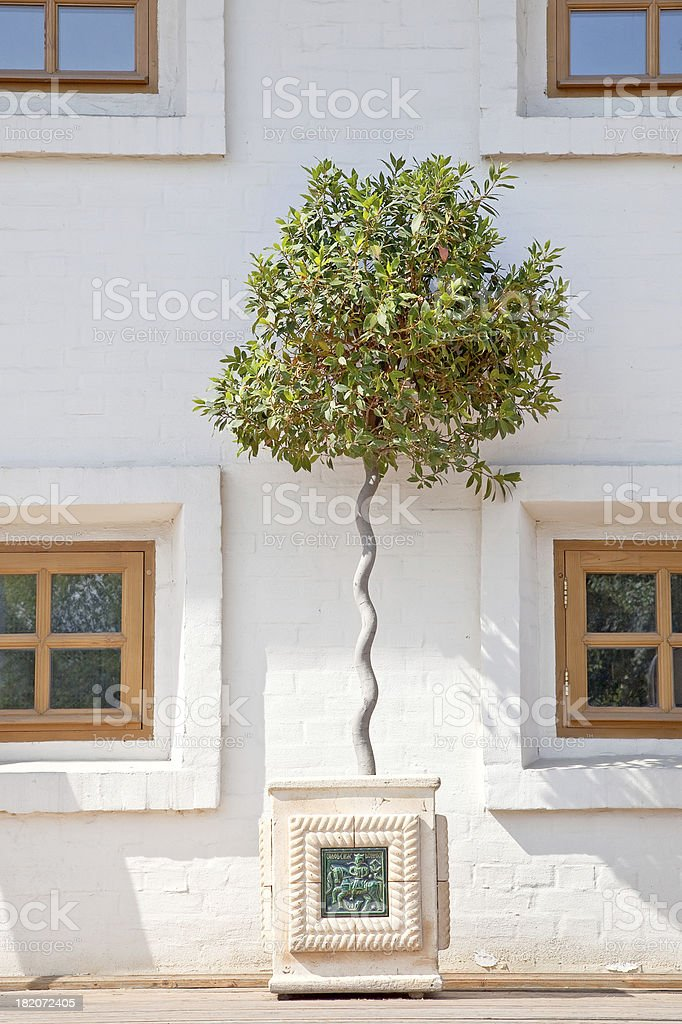 Tree is in a tub royalty-free stock photo