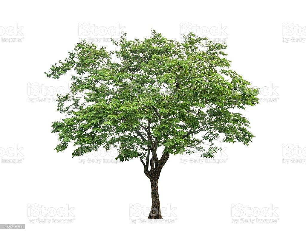 Árbol aisladas sobre fondo blanco foto de stock libre de derechos