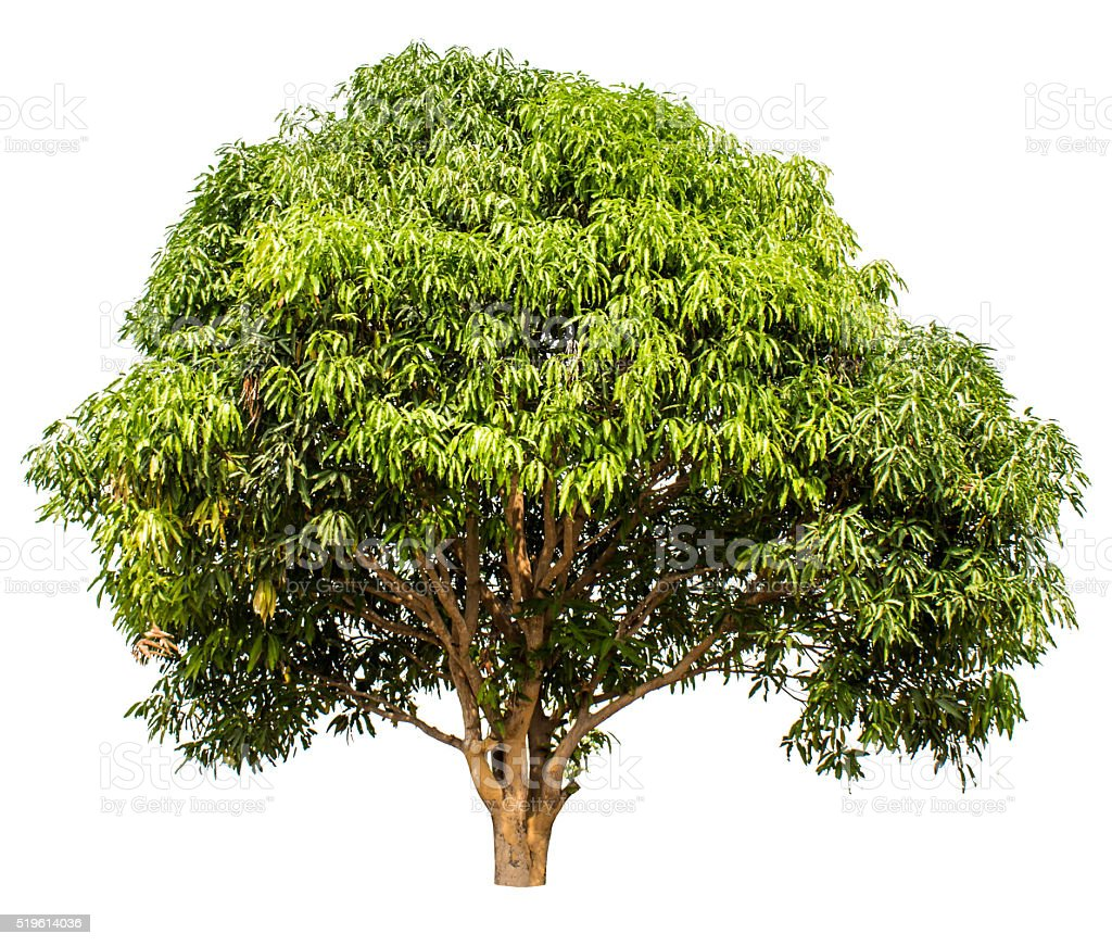 tree isolate on white background stock photo