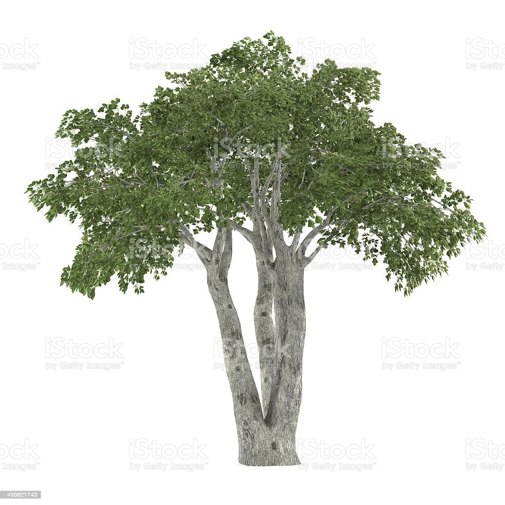 Tree isolated. Ficus benjamina stock photo