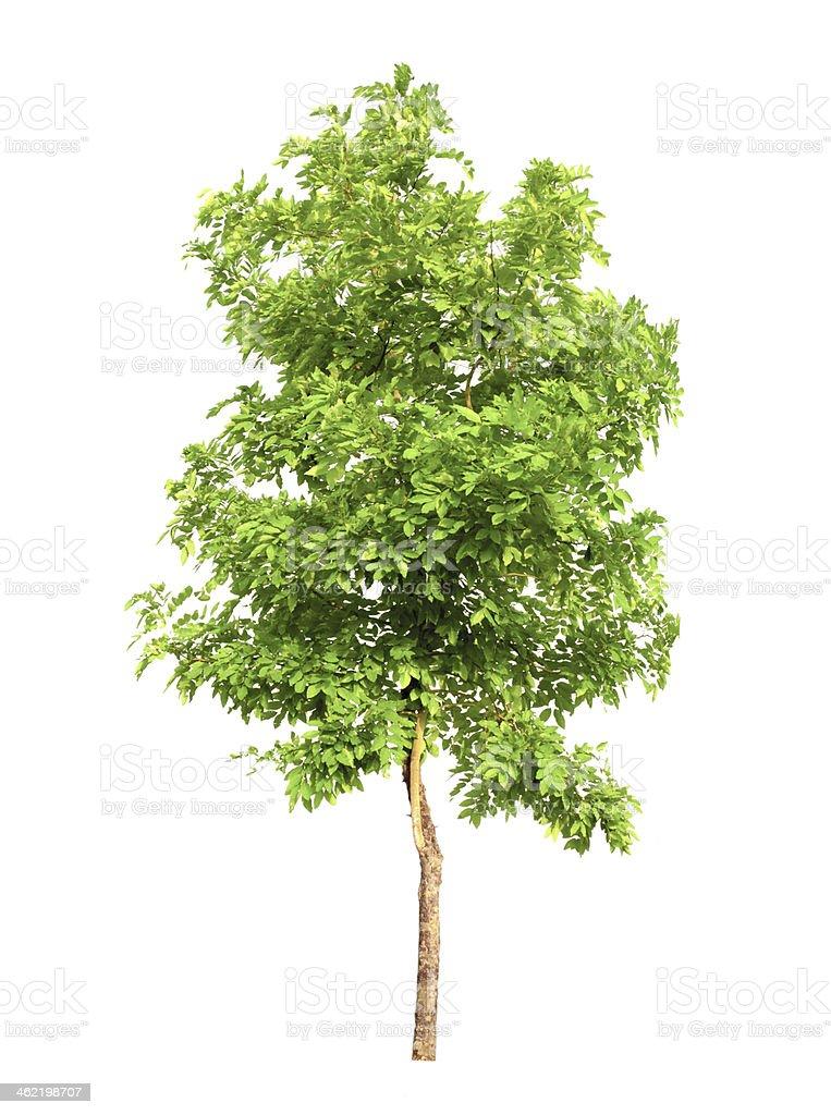 Tree isolated on white background stock photo