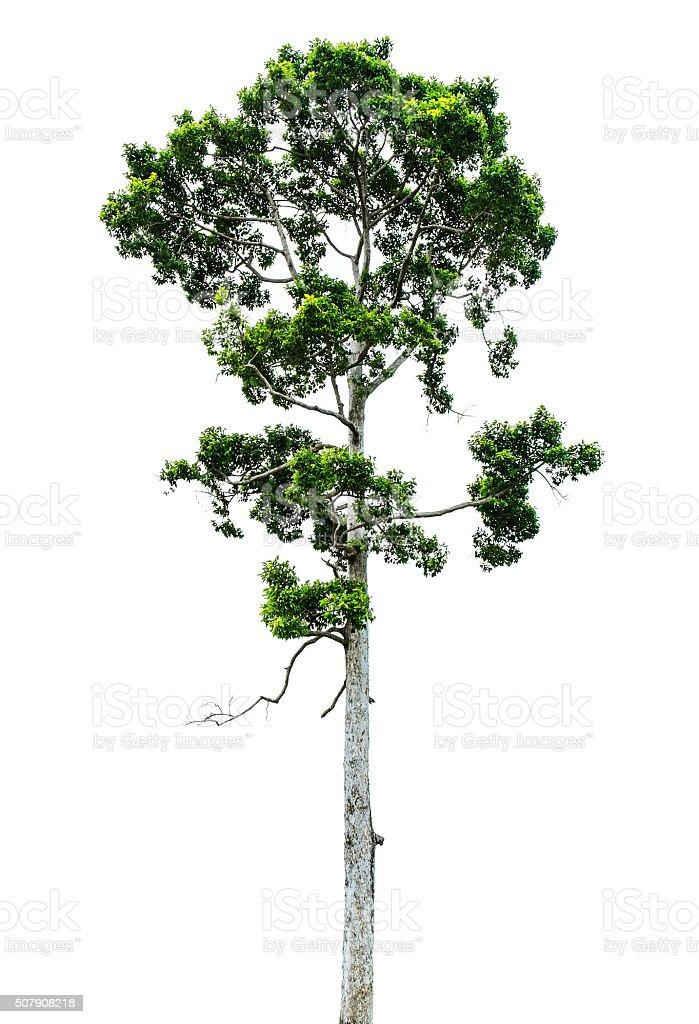 Tree, isolated on white background stock photo
