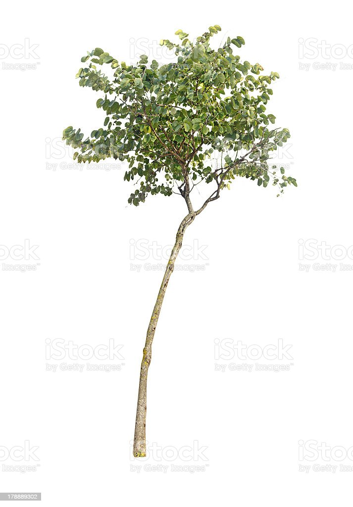 Tree isolated on white royalty-free stock photo