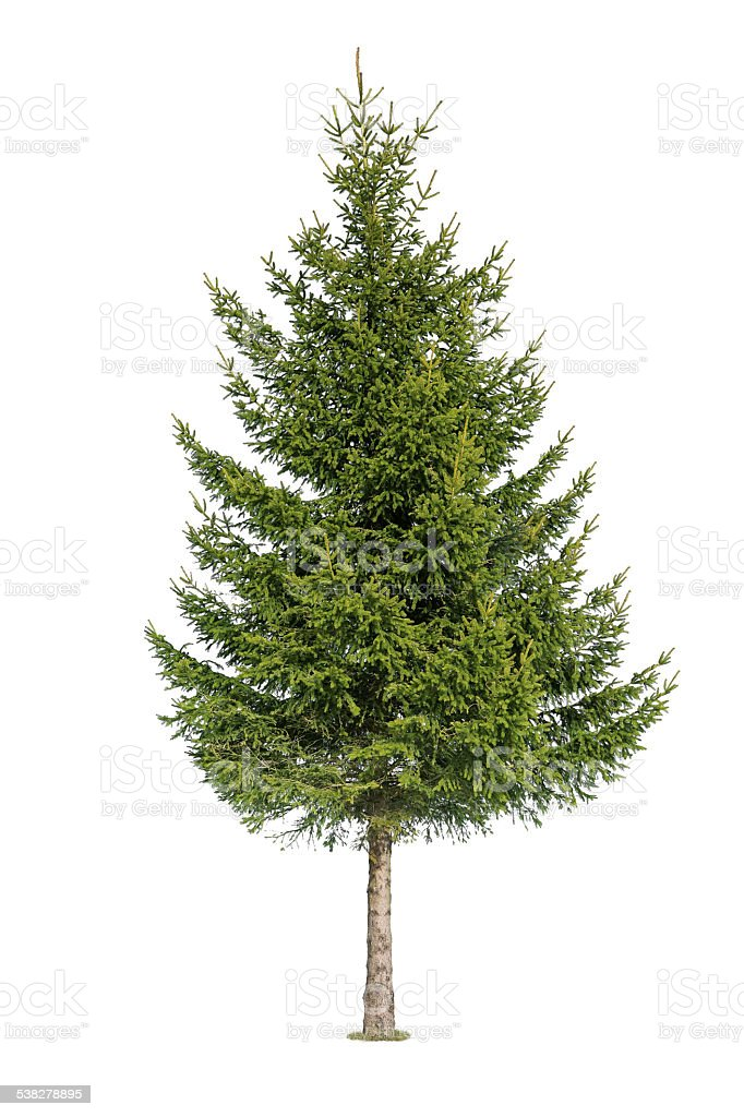 Tree isolated on white stock photo