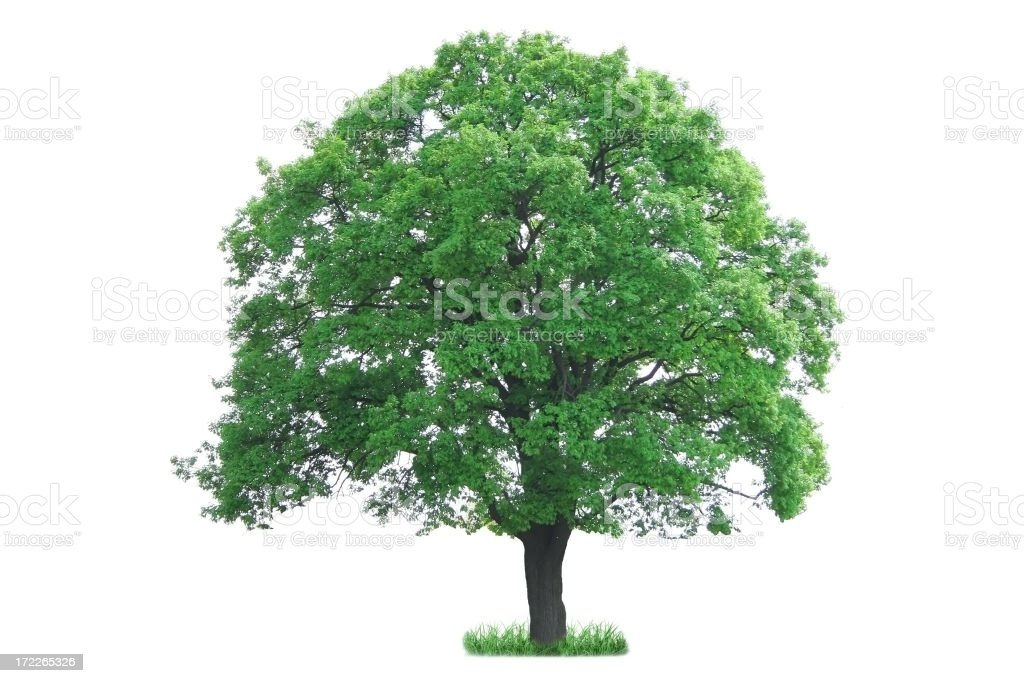 Tree isolated royalty-free stock photo