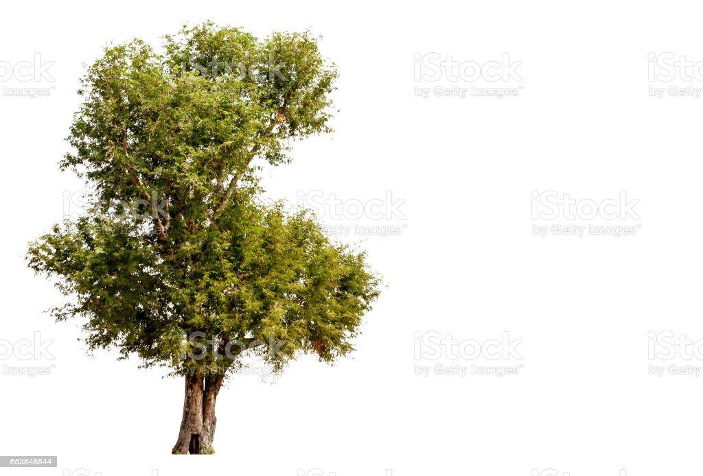 tree isolated white background stock photo