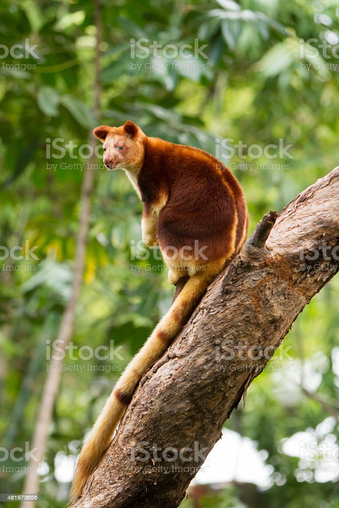 Tree Kangaroo stock photo