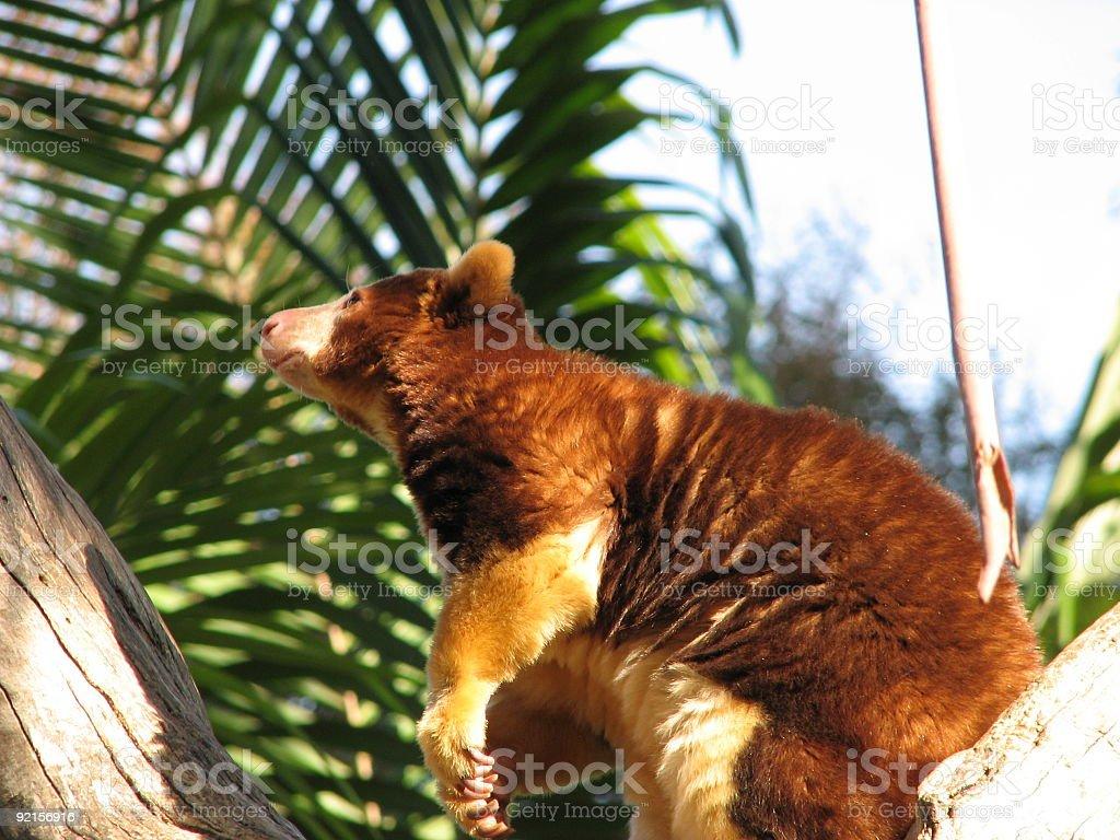 tree kangaroo stock photo