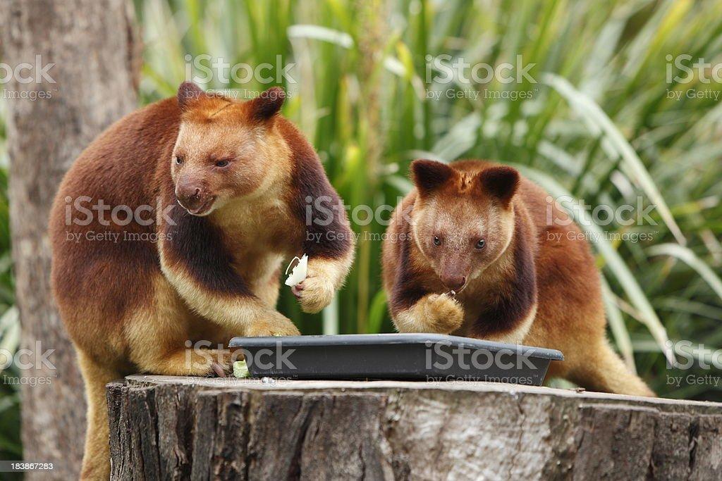Tree Kangaroos royalty-free stock photo