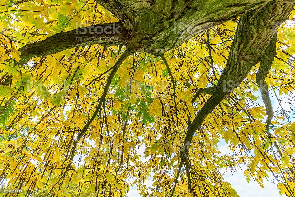 Tree leaves and branches from below in fall stock photo