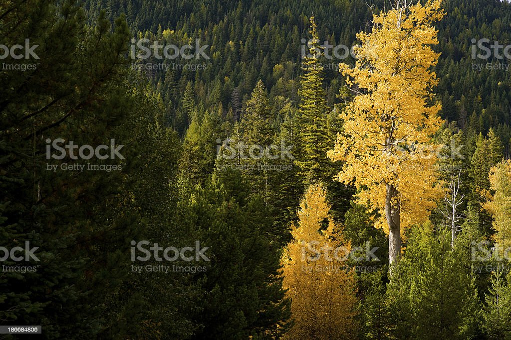Tree leaves changing color in Autumn royalty-free stock photo
