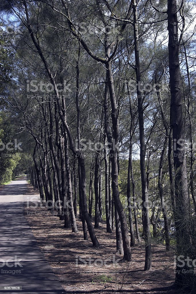 Tree Lined Path royalty-free stock photo