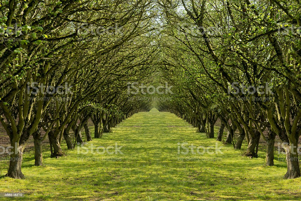 Tree lined path through a filbert orchard stock photo