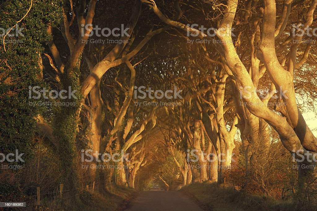 tree lined road at sunrise stock photo