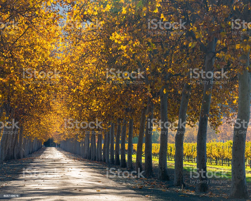 Tree lined road by vineyard in Napa in autumn color stock photo