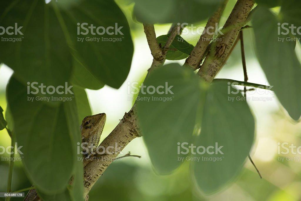 Tree lizard hide on the tree. royalty-free stock photo