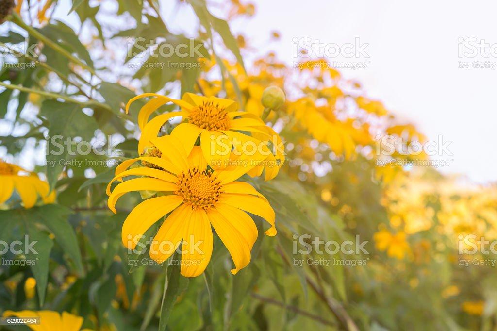 Tree marigold flowers stock photo