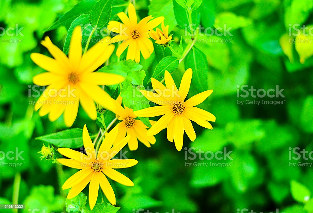 Tree marigold, Mexican tournesol, Mexican sunflower, Japanese sunflower, Nitobe chrysanthemum stock photo