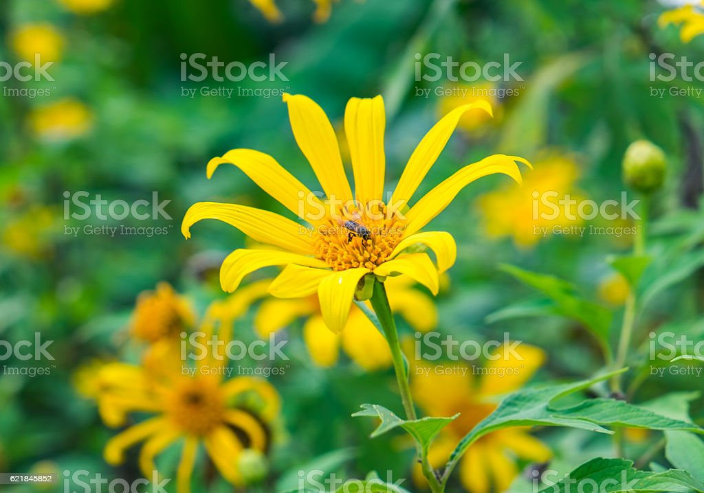 Tree marigold, Mexican tournesol, Mexican sunflower, Japanese sunflower stock photo