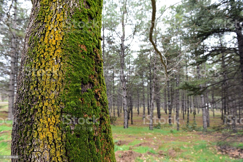 tree moss on a pine bark in the forest stock photo