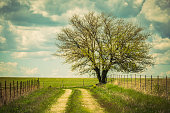 Tree, new spring growth, track, fences, field, clouds