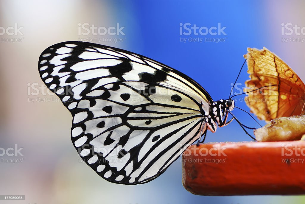 Tree Nymph Butterfly royalty-free stock photo