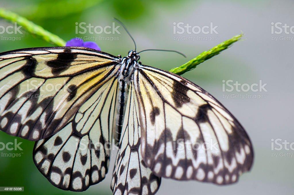 Tree nymph butterfly (Idea leuconoe) stock photo