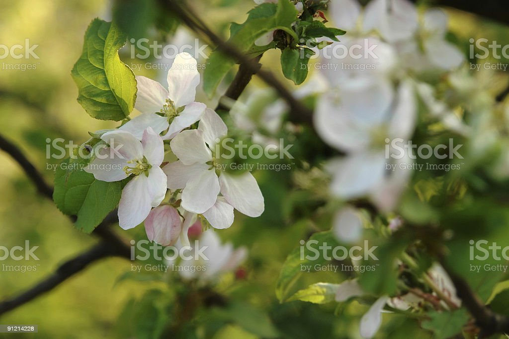 tree of apples royalty-free stock photo