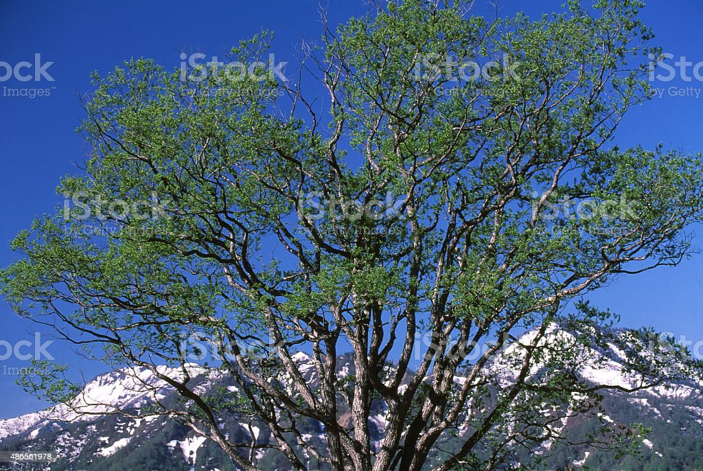 Tree of early spring stock photo