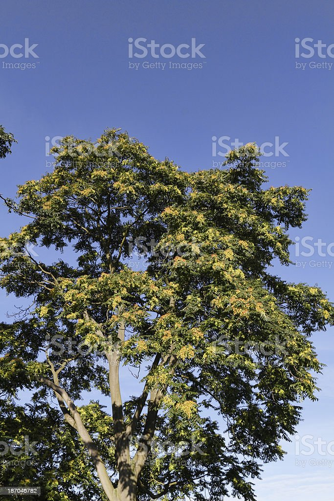 Flying seeds on Tree of Heaven in September royalty-free stock photo