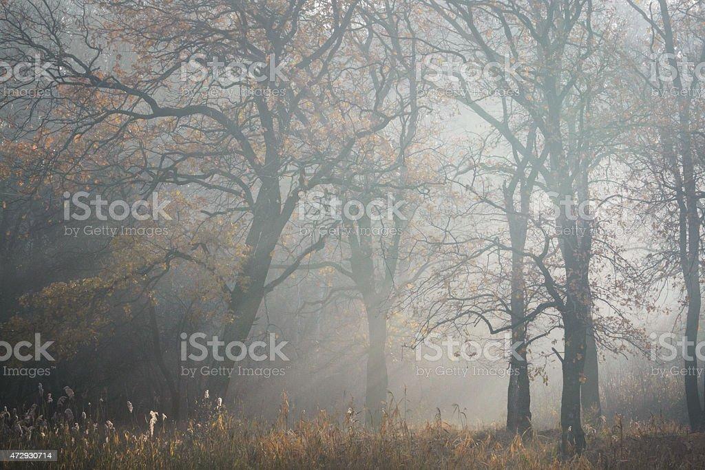 Árbol de niebla de la mañana foto de stock libre de derechos
