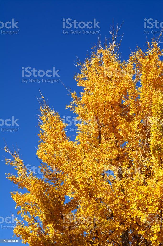 tree of pseudoacacia robinia in blue sky stock photo