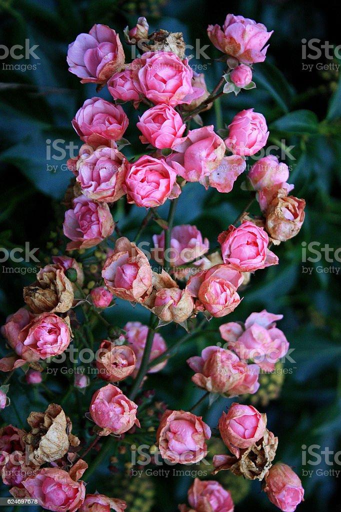 Tree of Roses stock photo