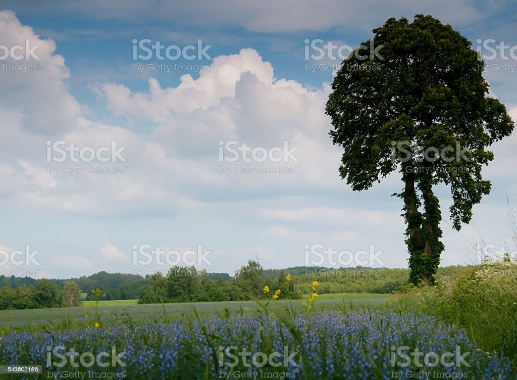 Tree on a field of blooming phacelia stock photo