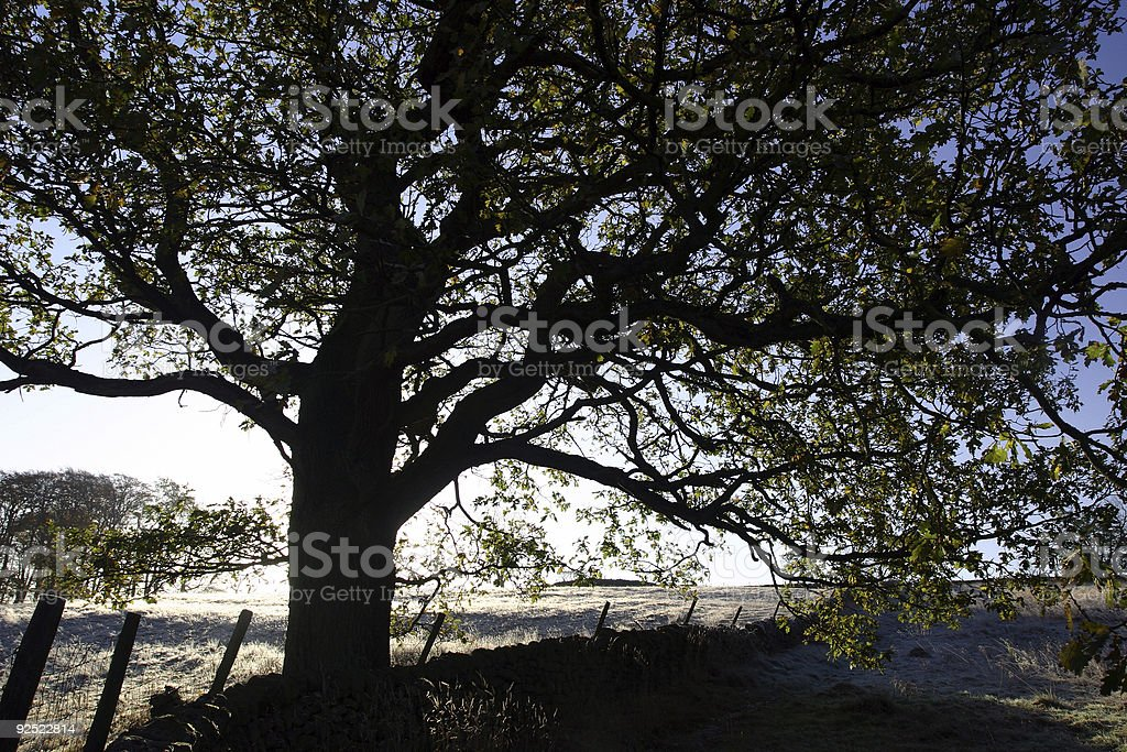 tree on a frosty Yorkshire winter morning, England royalty-free stock photo