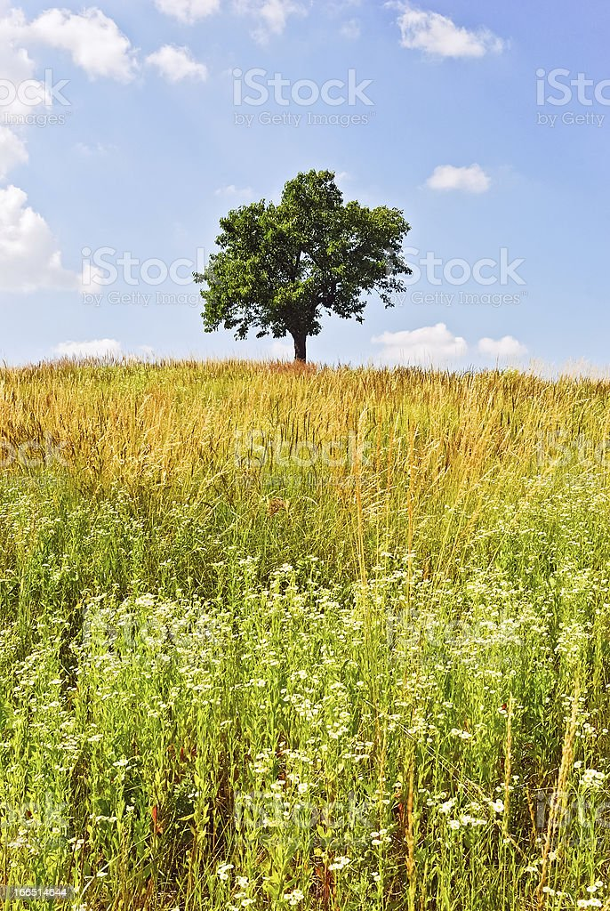 Tree on a hill at the meadow stock photo